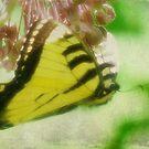 Swallowtail by vigor