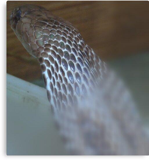 Common Cobra by clalrama