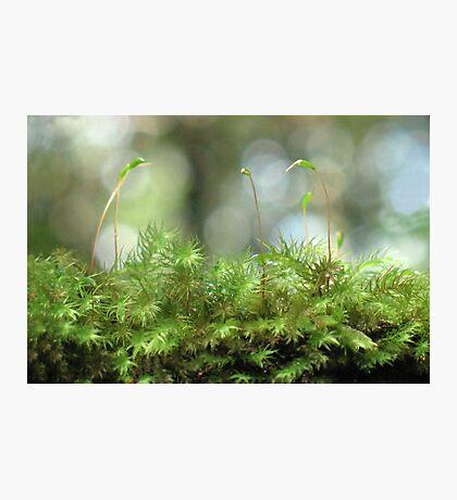 Moss Capsules Photographic Print