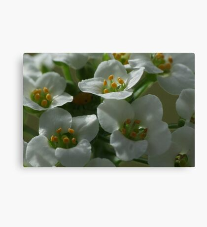 Sweet Alyssum Canvas Print