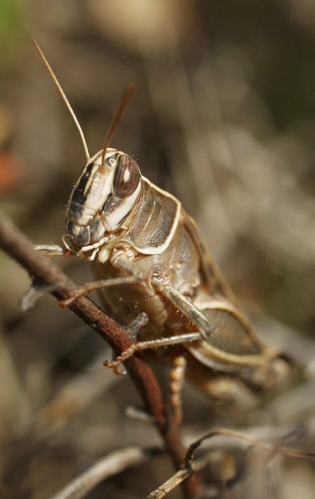 Italian Locust by marens