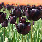 Tulip Festival art print Deep Purple Tulips Meadow Baslee by BasleeArtPrints
