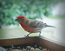 House Finch by G. David Chafin