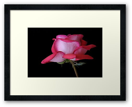 A Fully Open Red and Pink Rose on Black Background by Gerda Grice