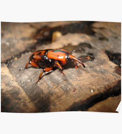 PALMETTO WEEVIL Poster