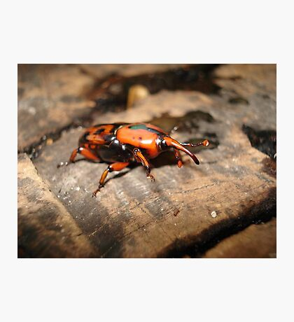 PALMETTO WEEVIL Photographic Print