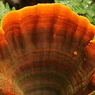 Ginger fungi fan by Michael Matthews