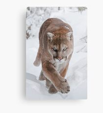 Cougar in Snow Metal Print