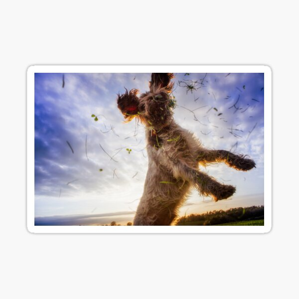 Leaping for clover Spinone Sticker