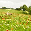 Chasing Poppies Spinone by heidiannemorris