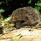 22 - HEDGEHOG IN OUR GARDEN (D.E. 2011) by BLYTHPHOTO