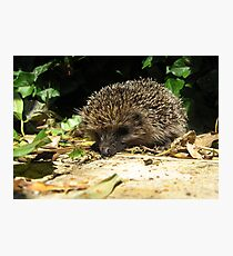 22 - HEDGEHOG IN OUR GARDEN (D.E. 2011) Photographic Print