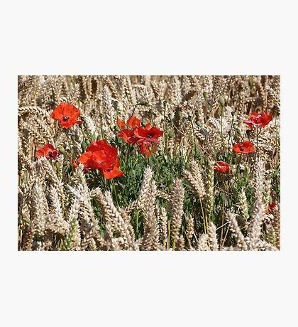 Poppies in the Corn Photographic Print