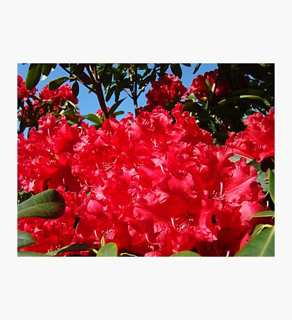 Red Rhododendrons Flowers Floral art prints Photographic Print