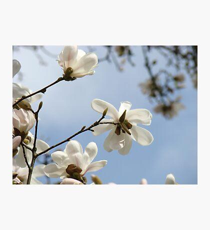 White Magnolia Flower Tree art prints Spring Photographic Print