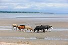 calves sparring on Cunnigar beach, County Waterford, Ireland by Andrew Jones