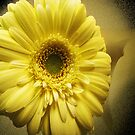 Yellow Gerbera by Mistyarts