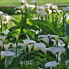 Arum Lilies (Zantedeschia aethiopica) by lezvee