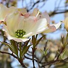 Dogwood Flowers in Spring by jewelsofawe
