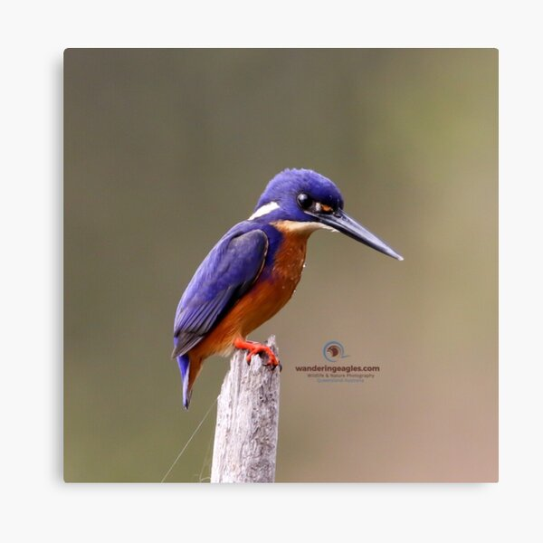Azure Kingfisher  Canvas Print