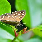 Male Speckled Wood by Nick  Gill