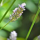 Lavender Macro by Nick  Gill