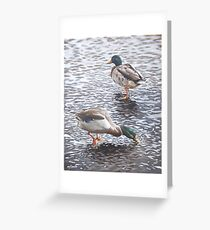 two mallard ducks standing in water Greeting Card