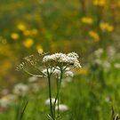 Midsummer flowers.  by Annbjørg  Næss