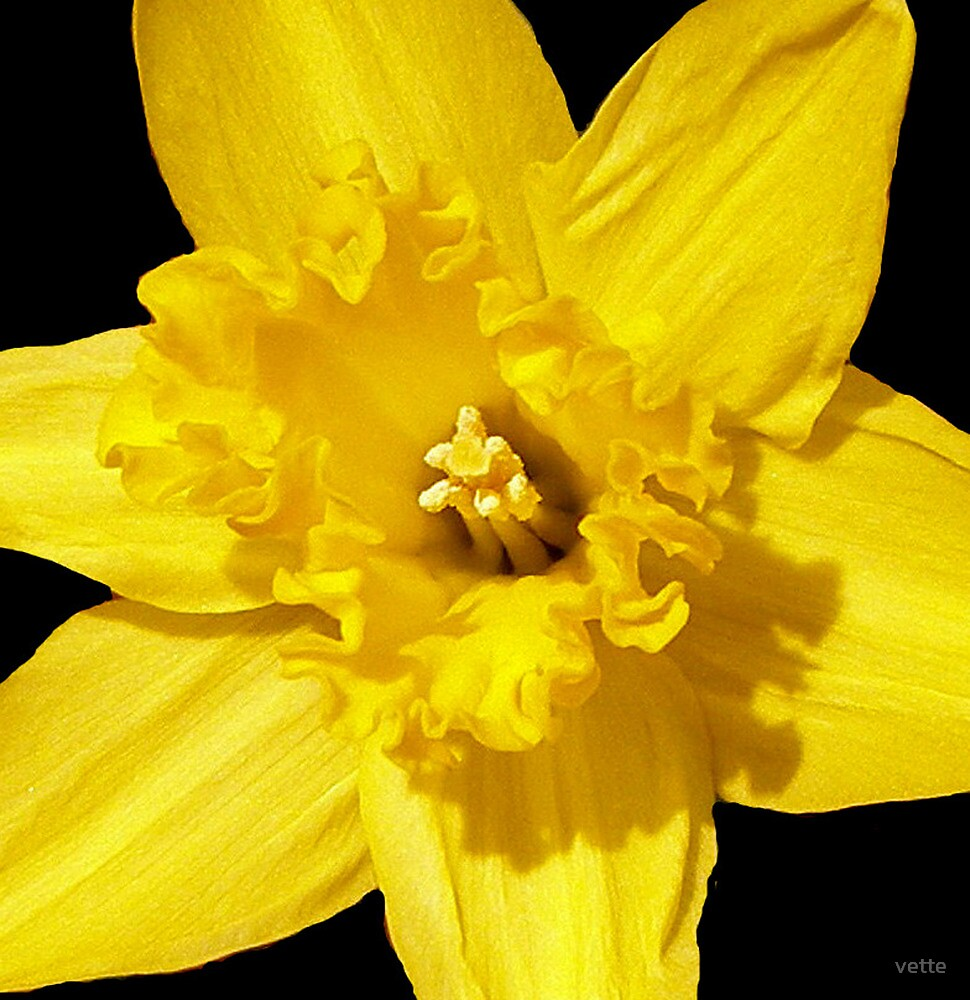 Daffodil in Bloom by vette