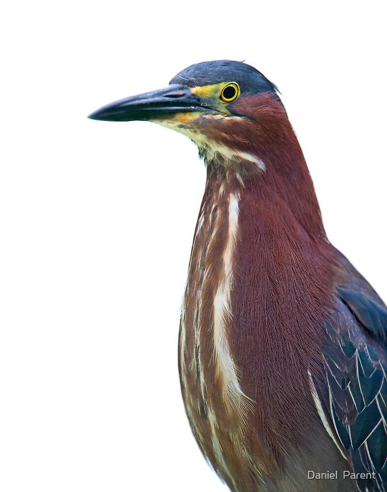 Heron Portrait by Daniel  Parent