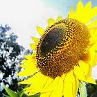 Gleaming Sunflower by Shaun  Gabrielli