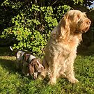Italian Spinone Orange and White Adult with Brown Roan Puppy Portrait by heidiannemorris