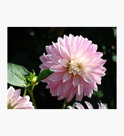 Dahlia Flower Garden art prints Pink Dahlias Floral Photographic Print