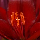 Lily Stamens by Colleen Drew