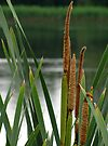 Rushes by Carol Bleasdale