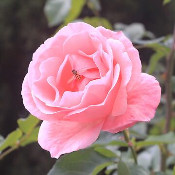 Rose flyers by were