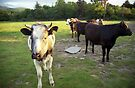 Cows in Llanfairfechan. by Michael Haslam