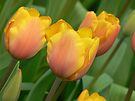 3 tulips by LisaBeth
