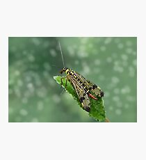 Scorpion fly Photographic Print