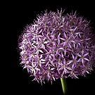 Allium by Endre