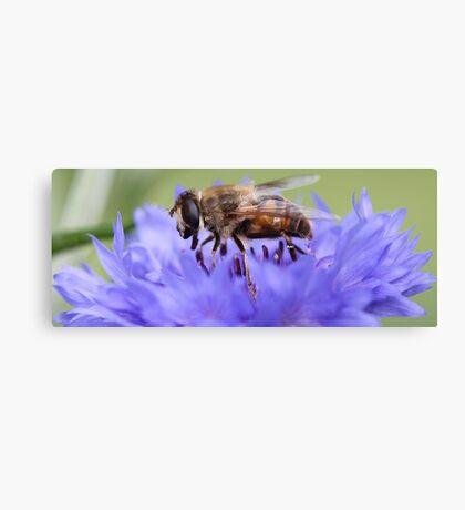 Honeybee - Knee Deep in Blue Amaranthus Canvas Print