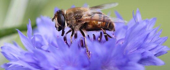 Honeybee - Knee Deep in Blue Amaranthus by T.J. Martin