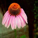 Cone Flower © by Dawn Becker