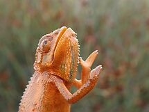 Chameleon praying by joshua Rubin