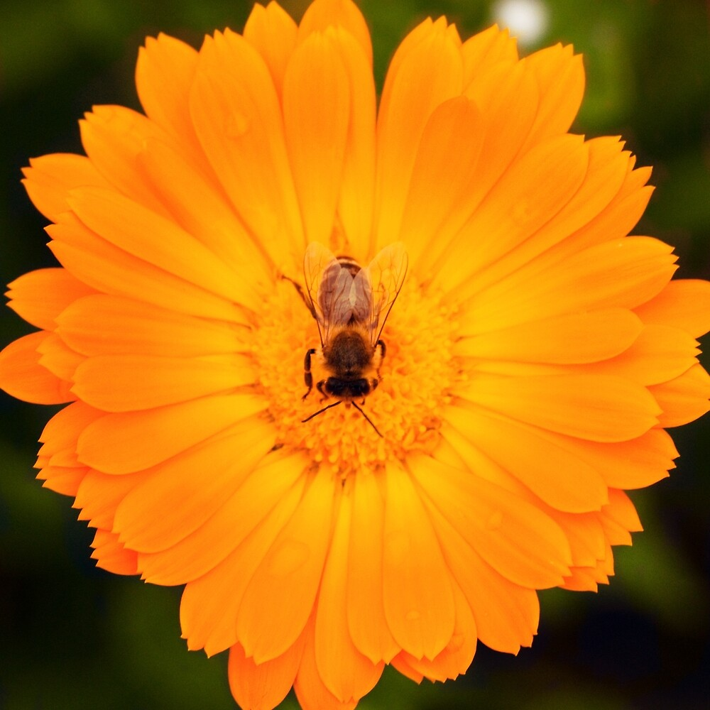 Orange Flower and Bee by Megan Campbell