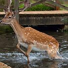 Deer in water by Dean Messenger