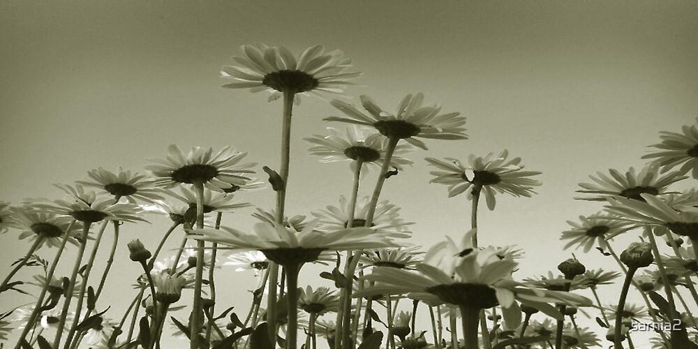 Panoramic Daisies by sarnia2