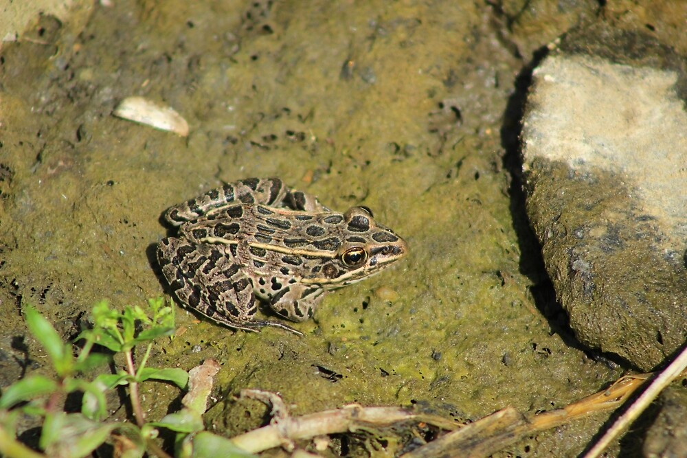 Brown Spotted Frog by rhamm