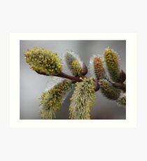 Blooming Willows Art Print