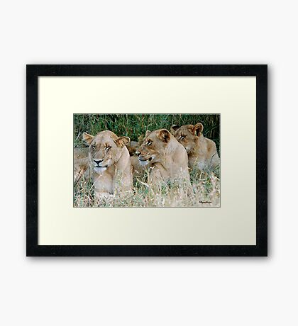 LAZY ONE WAY DIRECTION - The Kruger Park lions Framed Print